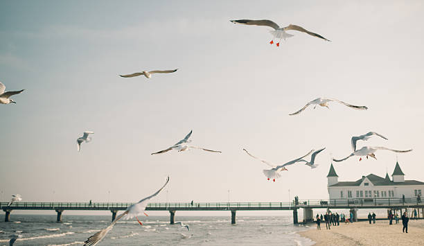 fliegenden möwen - usedom stock-fotos und bilder