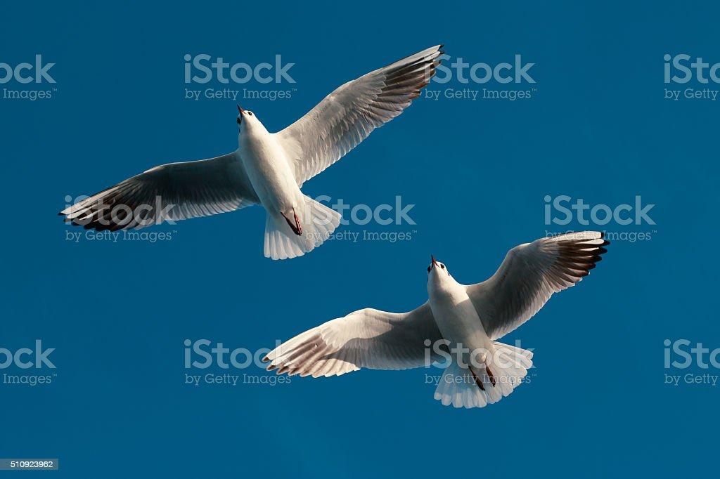 Flying Seagulls stock photo
