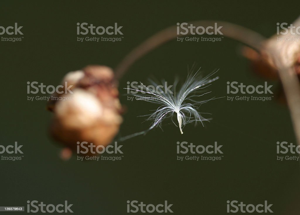 Flying seed royalty-free stock photo
