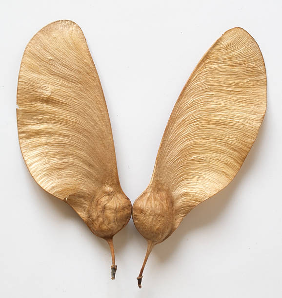 Flying Seed  antecedence stock pictures, royalty-free photos & images