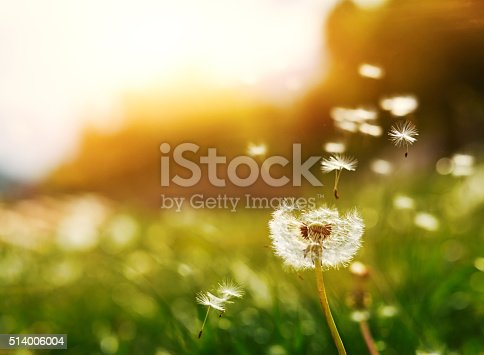 horizontal shot of flying seeds of dandelion in summer day at sunset.