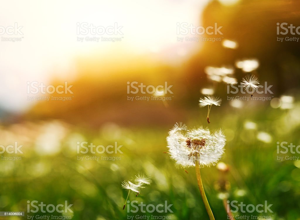 flying seeds of dandelion stock photo