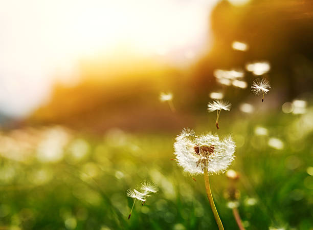 flying seeds of dandelion - paardenbloem stockfoto's en -beelden