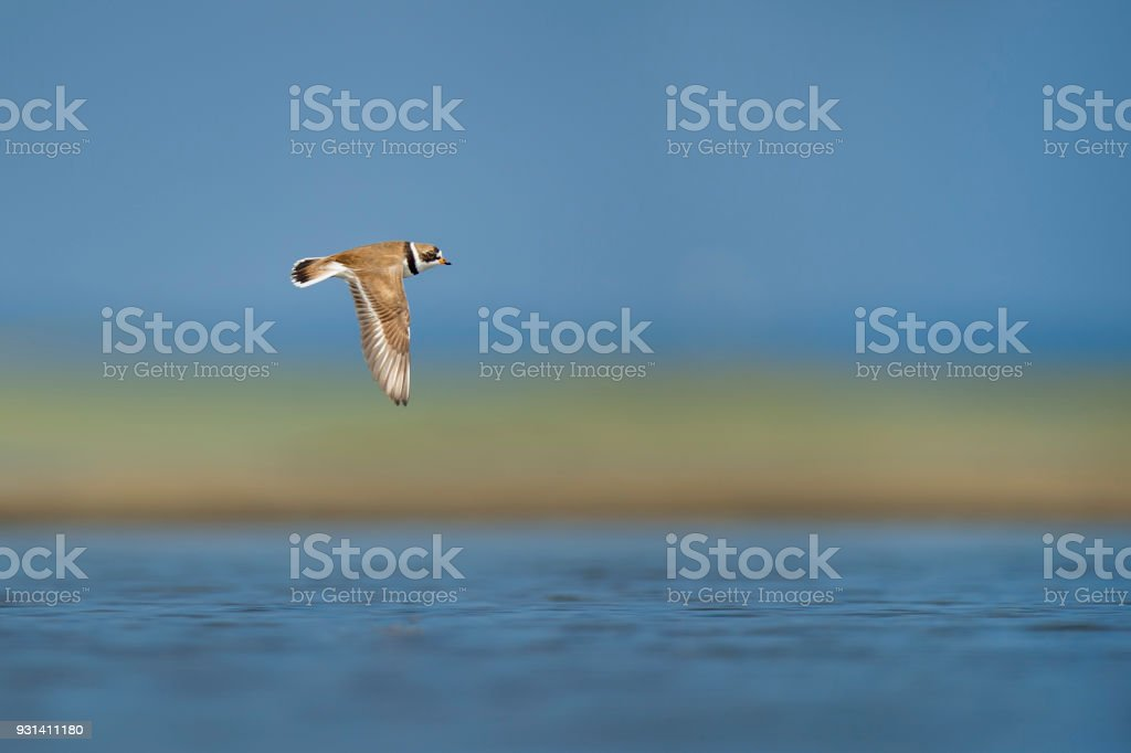 Flying Semipalmated Plover stock photo