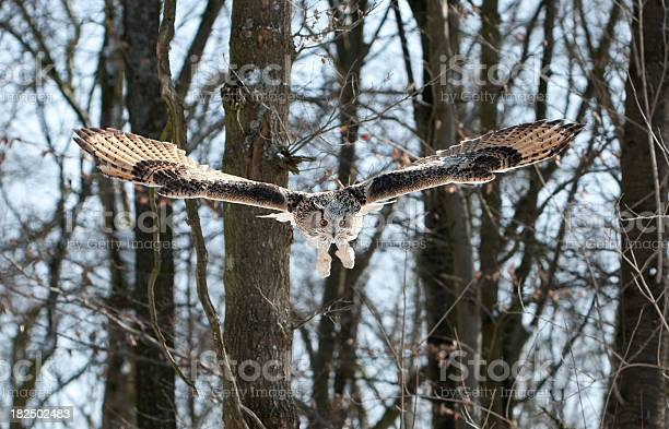 Flying siberian eagle owl picture id182502483?b=1&k=6&m=182502483&s=612x612&h=o4tzepgiuwhy8l cjqvwiqprketjlmy0kch neesq78=