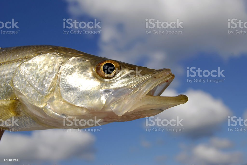 Flying Snook stock photo
