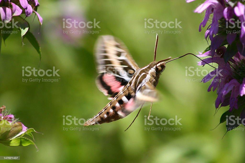 Flying Sphinx Moth stock photo