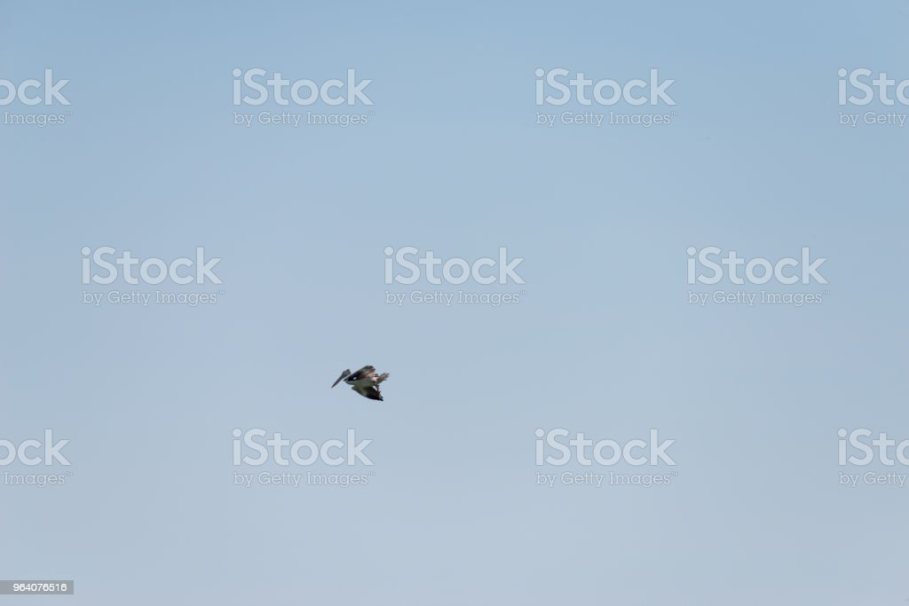 Flying spot billed pelican or grey pelican in Thailand - Royalty-free Animal Stock Photo