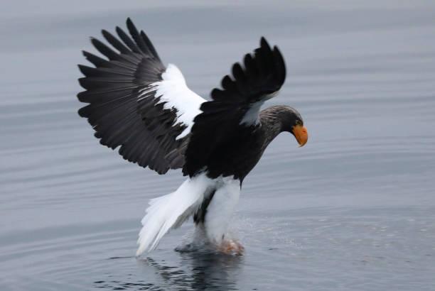 Flying Steller's Sea Eagle in Hokkaido Japan