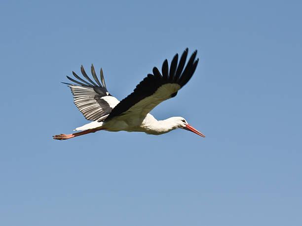 flying stork- zbliżenie, z kopii przestrzeni - bocian zdjęcia i obrazy z banku zdjęć