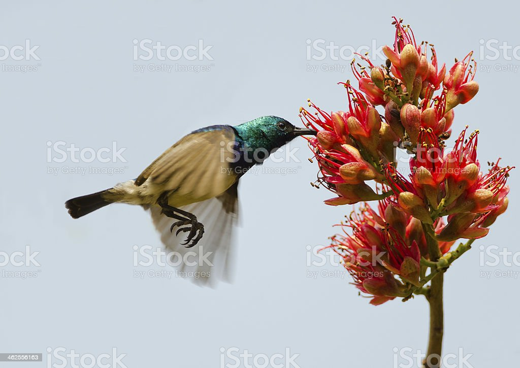 Flying sunbird royalty-free stock photo