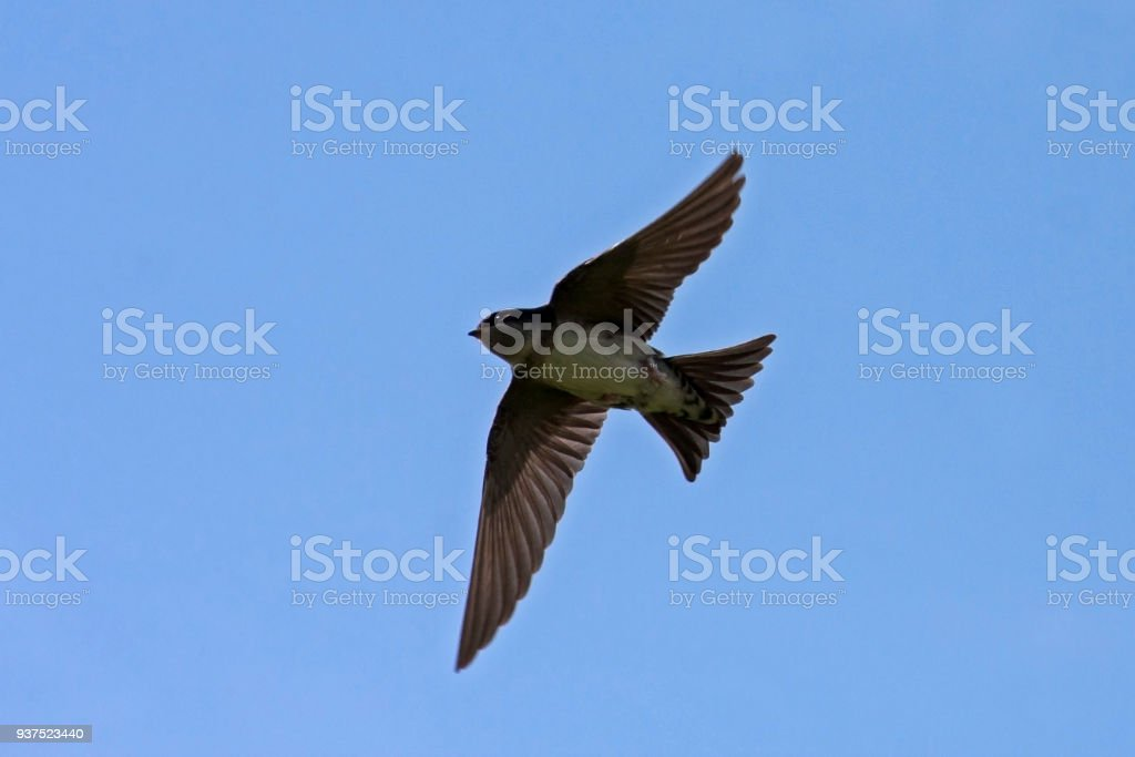 Flying Swallow Royalty Free Stock Photo