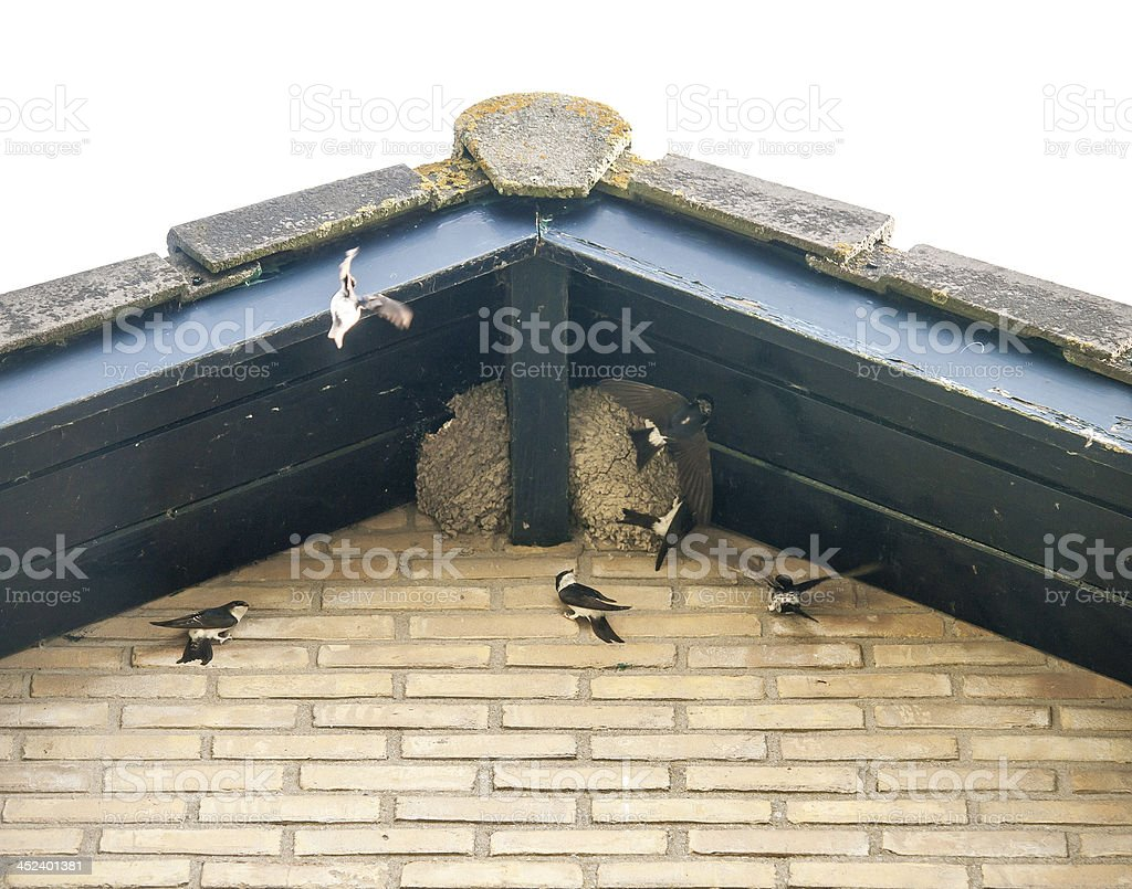 flying swallows in nest on a roof stock photo