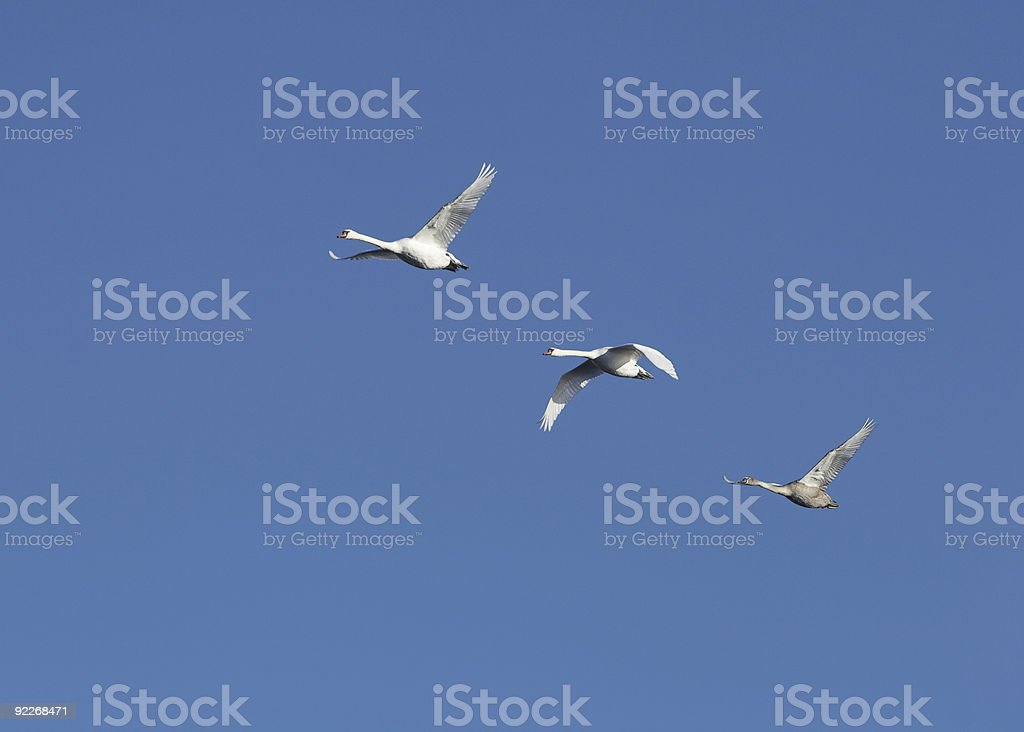 Flying swans royalty-free stock photo