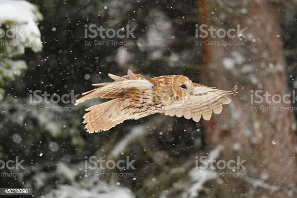 Flying tawny owl picture id450280961?b=1&k=6&m=450280961&s=612x612&h=vx 8cjkjzry7rbcc4dajjm45rji q3gtj98qq0ddnlk=