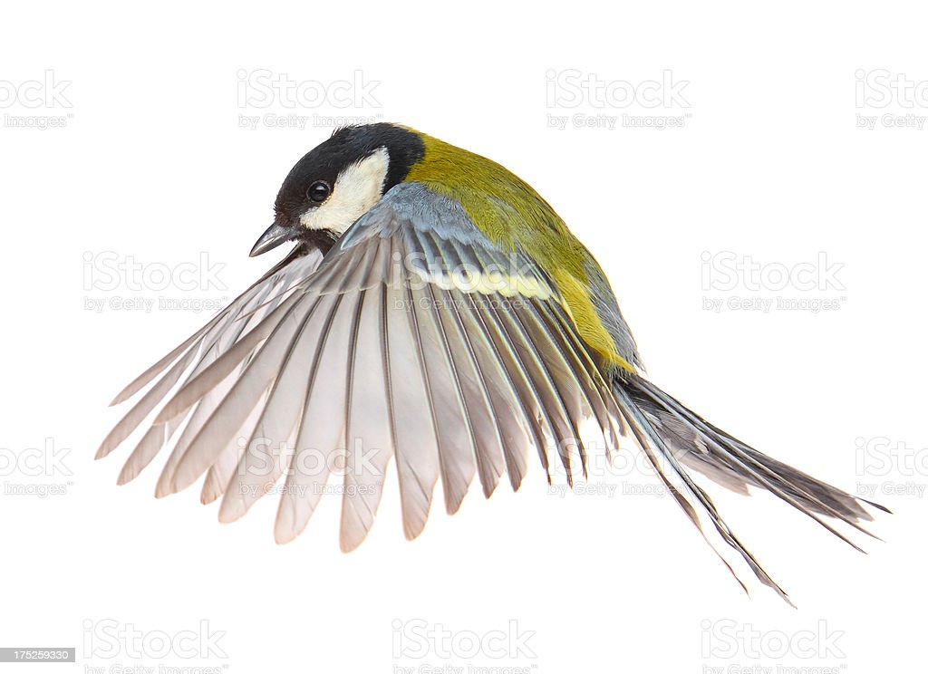Flying Tit stock photo
