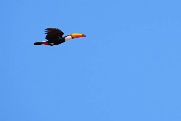 Flying Toco Toucan, Ramphastos Toco, also known as the Common Toucan, Giant Toucan, Pantanal, Mato Grosso do Sul, Brazil stock photo