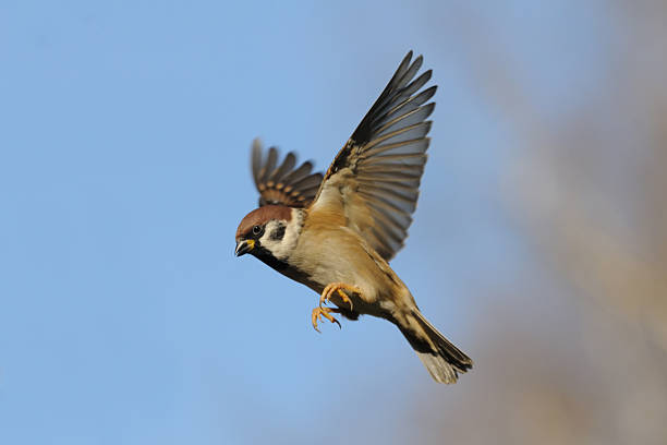 Flying Tree Sparrow against bright blue sky background stock photo