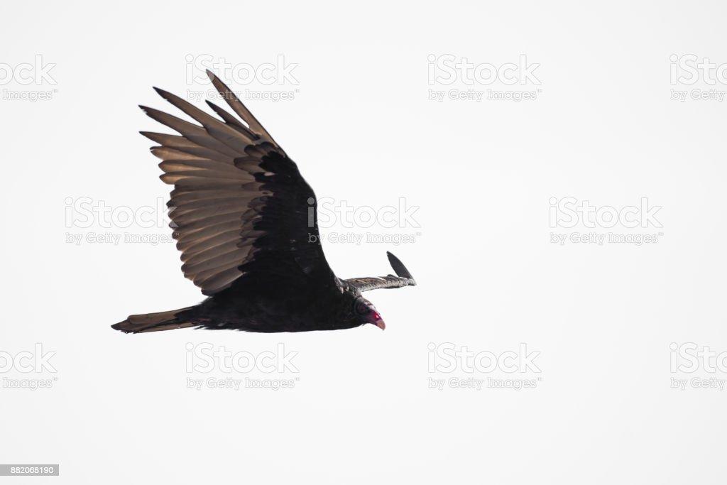 Flying turkey vulture stock photo