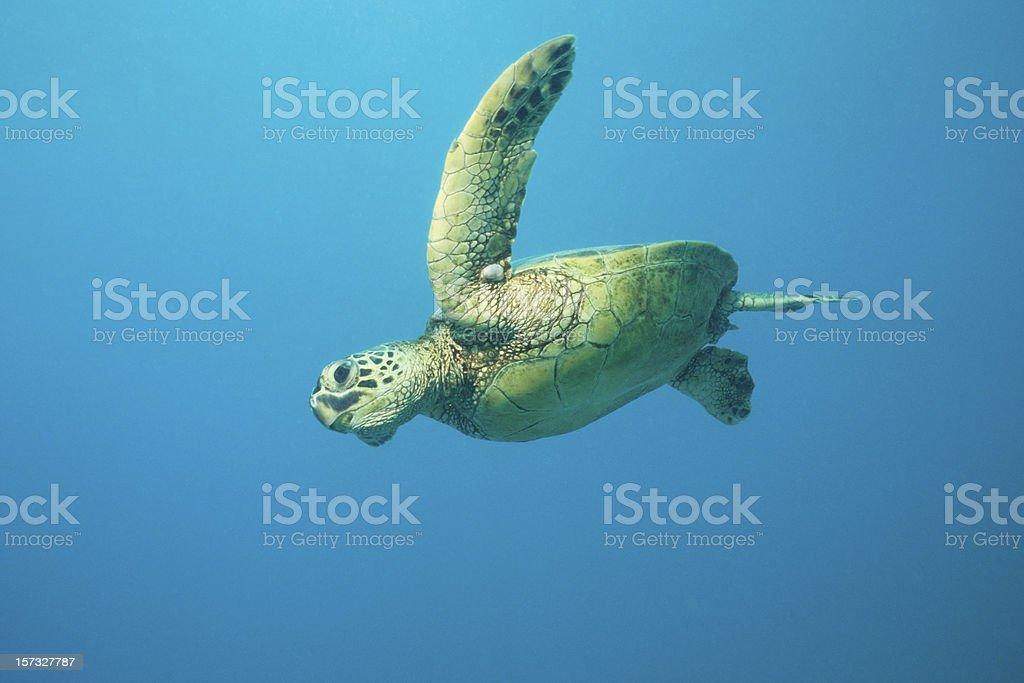 Flying Turtle - Lizenzfrei Aquatisches Lebewesen Stock-Foto