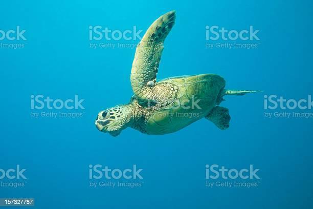 Flying Turtle Stockfoto und mehr Bilder von Aquatisches Lebewesen