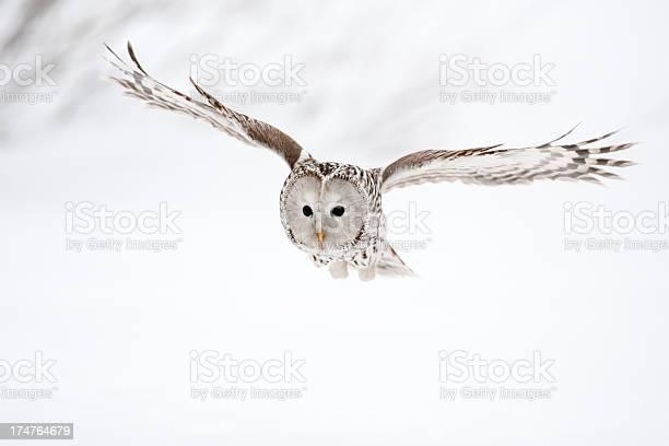 Flying ural owl picture id174764679?b=1&k=6&m=174764679&s=612x612&h=gu9qruf2kqdopftgu4t4fspxu3vq0uqou3ppwl7nxgi=