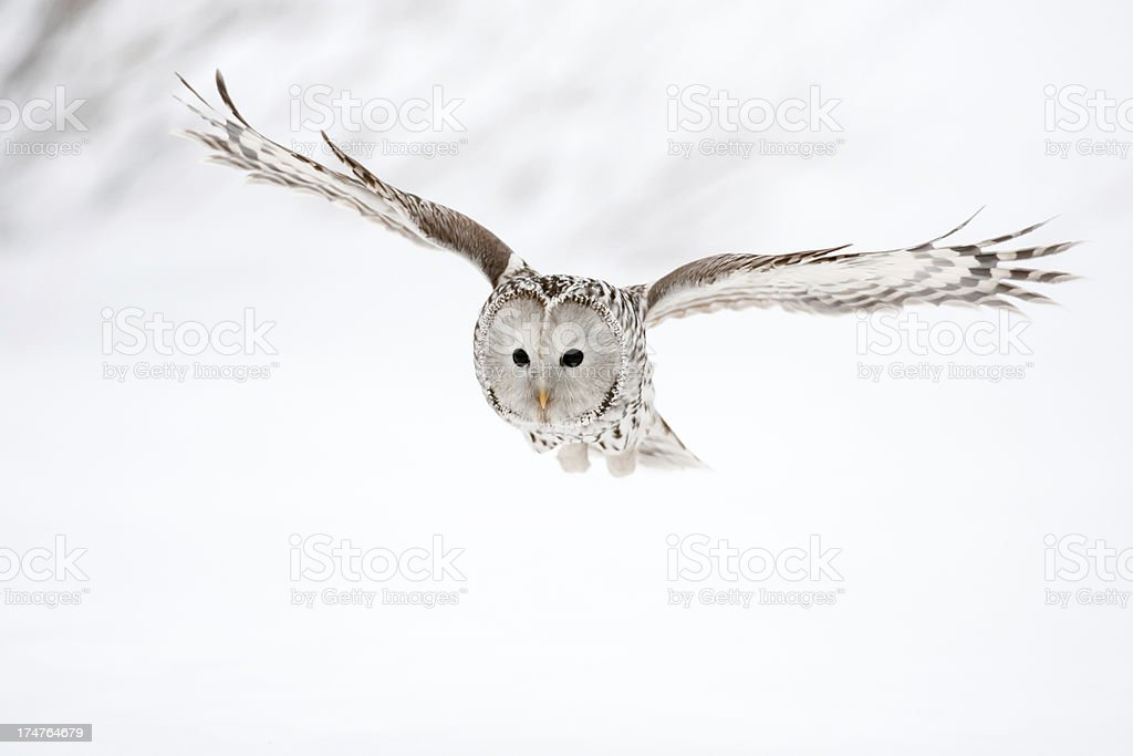 Flying Ural Owl stock photo