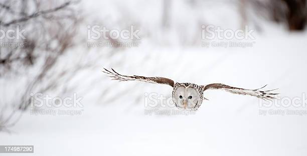 Flying ural owl picture id174987290?b=1&k=6&m=174987290&s=612x612&h=eomciu4vd4puhnuzuz6woheptweoajkwczr537k9wvo=