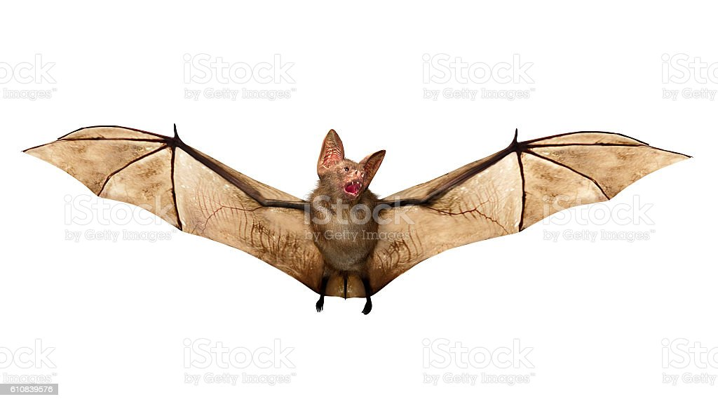 Flying Vampire bat isolated on white background stock photo