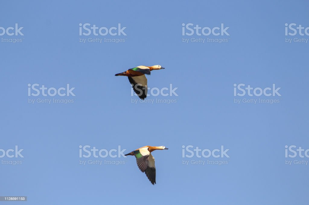 Two water birds flying in the sky, Rajasthan, INDIA
