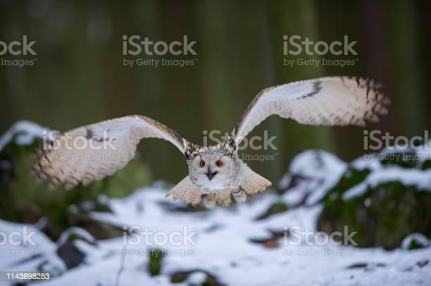 Flying western siberian eagle owl in the forest picture id1143698253?b=1&k=6&m=1143698253&s=612x612&h=hwo9x72rnnqaoafycott8p2kk8le es ez44zdphyru=