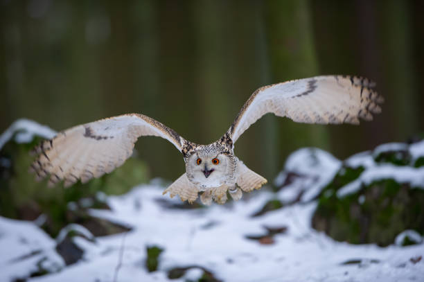 Flying western siberian eagle owl in the forest stock photo