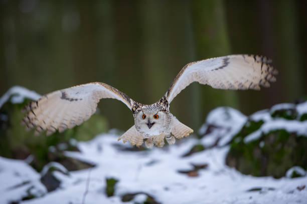 Fliegen westlich sibirischen Adlereule im Wald – Foto