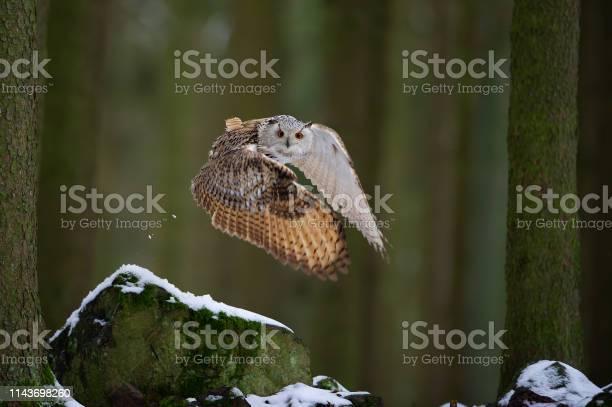 Flying western siberian eagle owl in the forest with beautiful wing picture id1143698260?b=1&k=6&m=1143698260&s=612x612&h=d3a7dqyfswwfk27y57azgjnk9aenvdz7dhzqosyrjck=