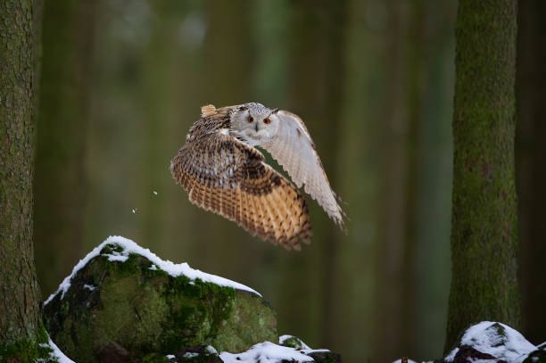 Flying western siberian eagle owl in the forest with beautiful wing composition stock photo