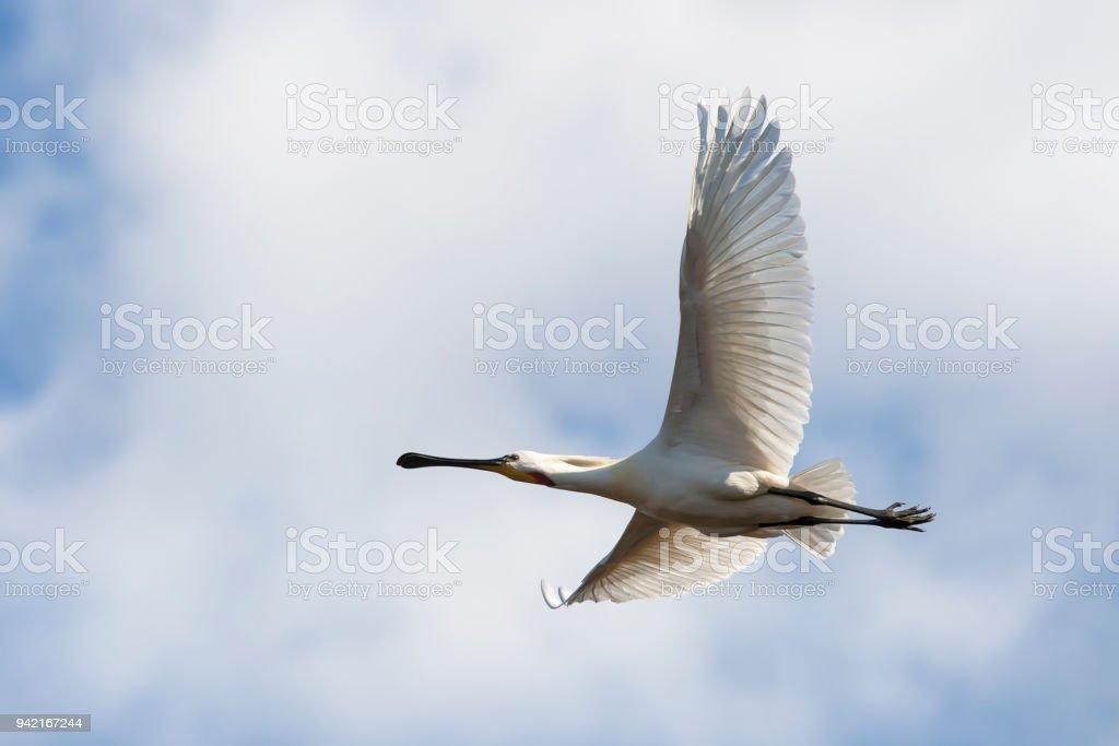 Fliegende weiße Löffler – Foto