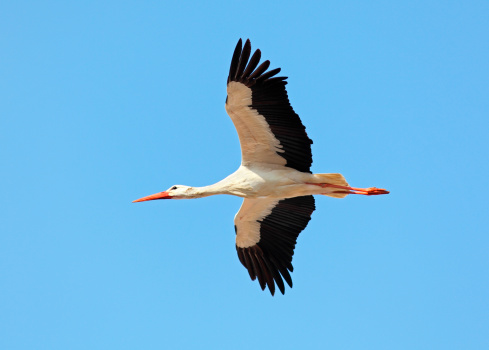 Flying White Stork