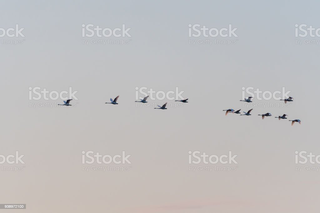 Flying White Swans Formation stock photo