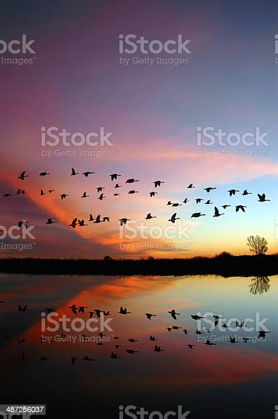 Flying wild geese and a red sunset picture id487256037?b=1&k=6&m=487256037&s=612x612&h=8bhjrgalhxvpjpn3iu it2iu9qdghl16ydxohaphx5u=