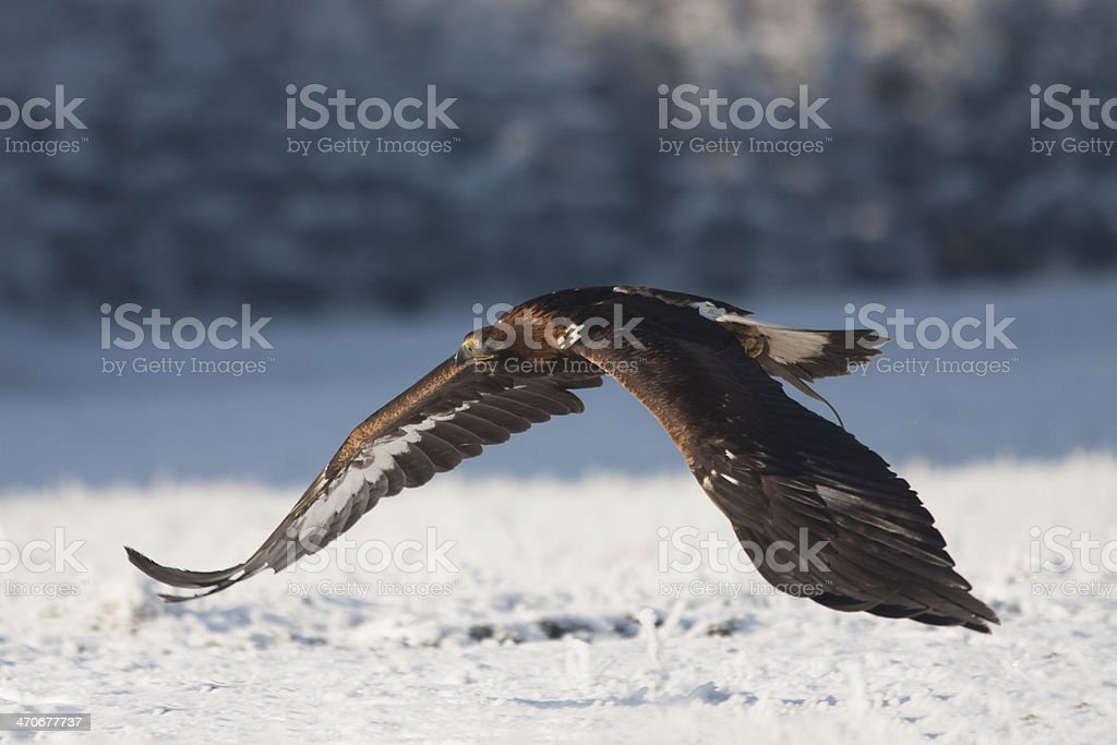 Flying Winter Eagle stock photo