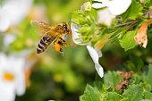 Flying worker honey bee with bee pollen on honeybee's leg feeding on Bacopa flower