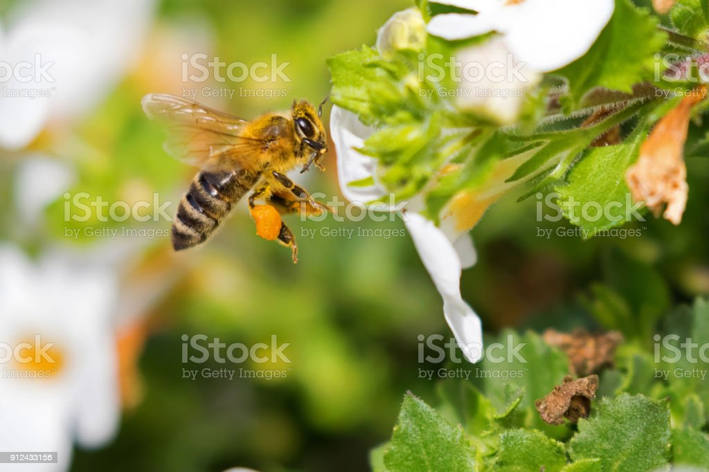 Flying worker honey bee with bee pollen on honeybee's leg feeding on Bacopa flower stock photo