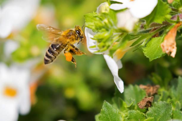 flying worker honey bee with bee pollen on honeybee's leg feeding on bacopa flower - ape domestica foto e immagini stock
