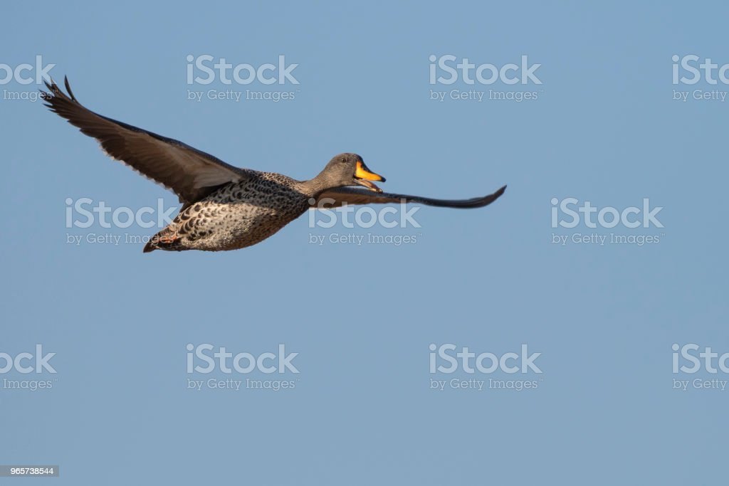 Flying yellow-billed duck - Royalty-free Africa Stock Photo