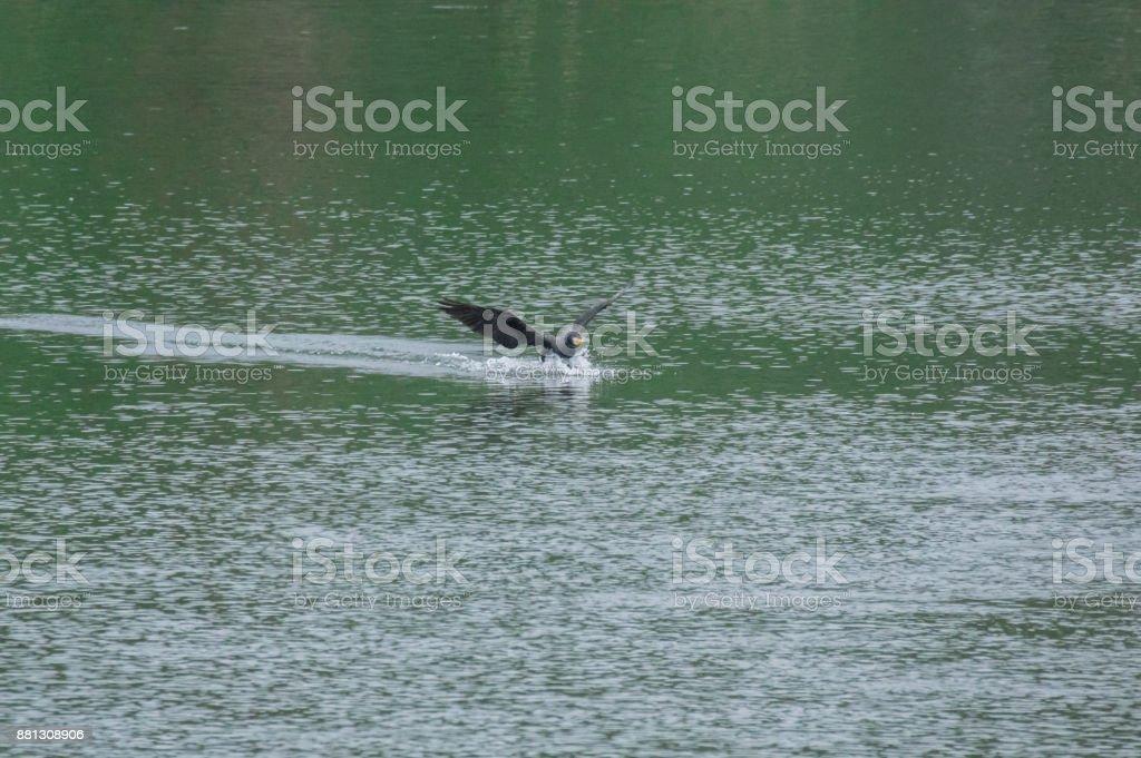 flying,Great Cormorant stock photo