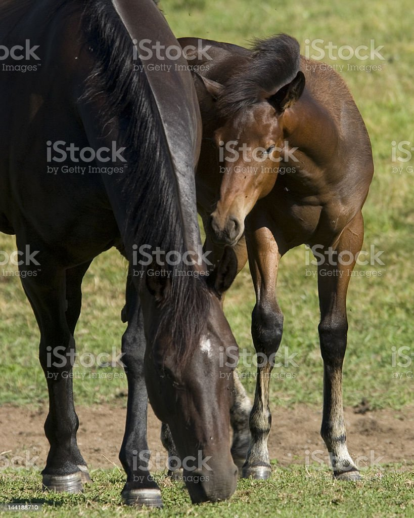 Foal and its mother stock photo