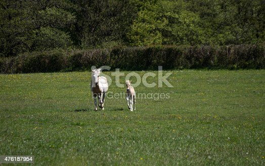Image of a young foal with his mother running side by side through a green field