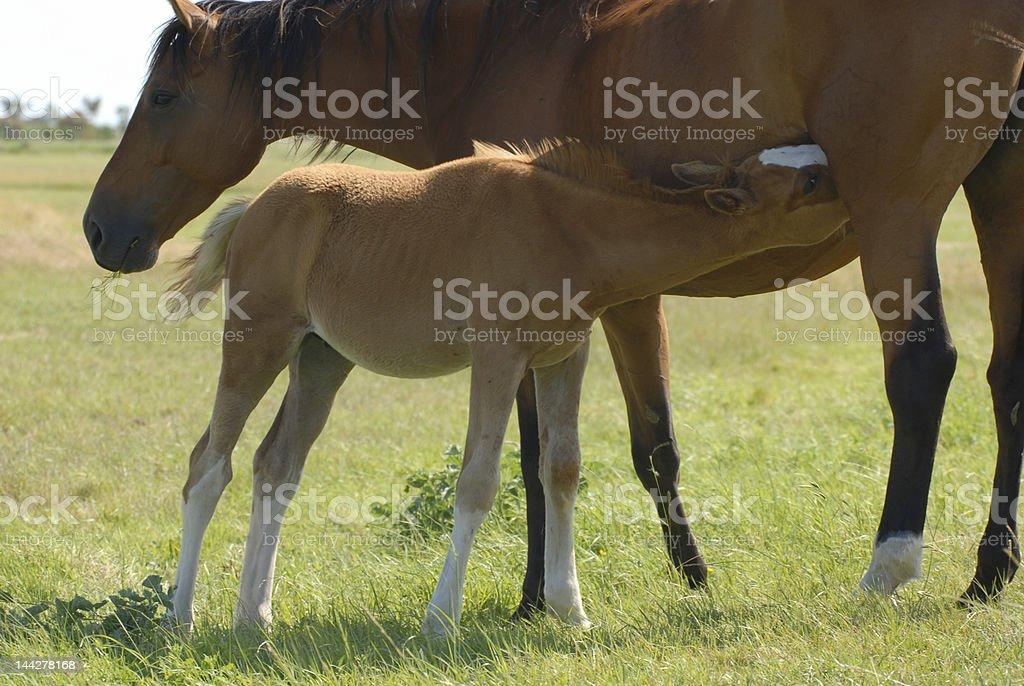foal breakfast royalty-free stock photo