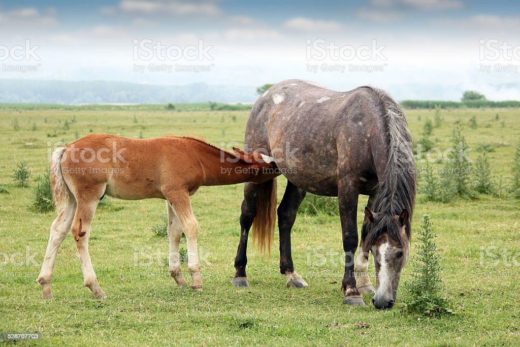 foal breastfeeding in the field stock photo