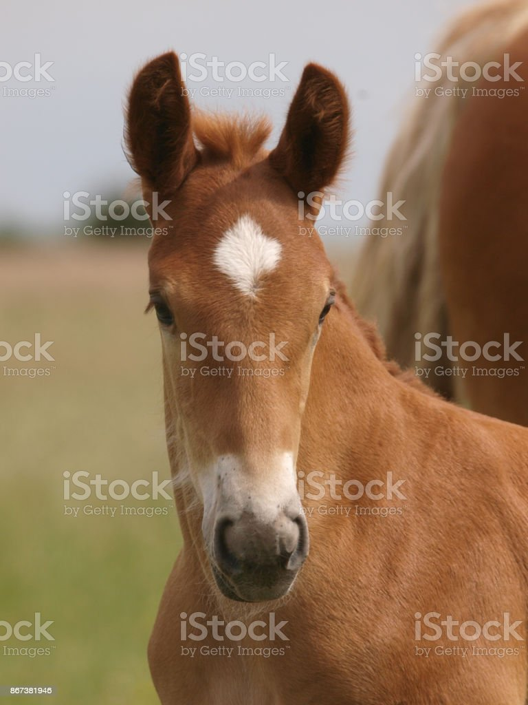 Foal Headshot stock photo